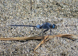 Long Skimmer. Orthetrum trinacria . mature male