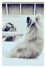 Tombe la neige.. (busylvie) Tags: fenêtre chihuahua neige voitures garage nuageux blanc sepia attente surprise littledoglaughednoiret