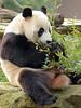 giant panda Ouwehands BB2A0995 (j.a.kok) Tags: panda grotepanda giantpanda bamboebeer bamboobear beer bear china asia azie animal ouwehands mammal zoogdier dier