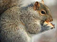I wish I could have a cup of coffee (NaturewithMar) Tags: squirrel macro friday fauna