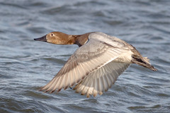 Canvasback Hen (tresed47) Tags: 2017 201701jan 20170126semarylandbirds birds cambridge canon7d canvasbackduck content ducks folder january maryland peterscamera petersphotos places season takenby us winter
