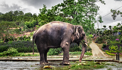 Elephant's Routine (atvstd) Tags: vietnamtrip2017romank vietnam 2017 march elephant animal green life routine outdoor ps nikon d5100 dslr nhatrang prenn dalat tree sky hdr photoshop travel