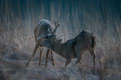 TwoToTangle (jmishefske) Tags: wehr buck nature d500 battle fighting whitnall milwaukee franklin january antler wildlife rack wisconsin 2018 nikon park sparring center deer whitetail