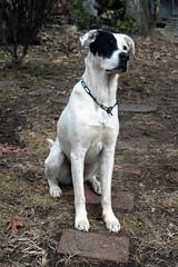 DSC_0289 (Charlotte Hoberg) Tags: german shepherd belgian malinois mondioring ipo schutzhund dog dogs cute training black fawn while rottweiler pit bull boxer lab labrador