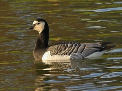 Barnacle Goose (Kevin67.) Tags: caldecotte mk bucks geese barnaclegoose nature wildlife winter