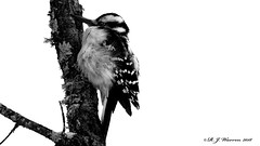 Hairy Woodpecker on a Tree (Aria (RJWarren)) Tags: hairywoodpecker picoidesvillosus nature wildlife wild bird woodpecker animal fauna cold fluffy midwest minnesota saxzimbog canon 6d tamron150600mm monochrome blackwhite bw