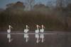 Morning Standup (gseloff) Tags: americanwhitepelican bird wildlife nature reflection water mist bayou horsepenbayou pasadena texas kayak gseloff