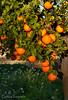 luces en los naranjos de silla (carlosjunquero) Tags: naranjo árbol silla