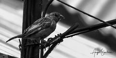 Avecilla (Angel Santana - Fotografía) Tags: ave paloma parral canonchile eosrebelt6 fauna