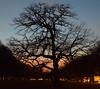 Tree at dusk (marensr) Tags: university chicago dusk sunset oak tree silhouette uchicago gloaming violet hour