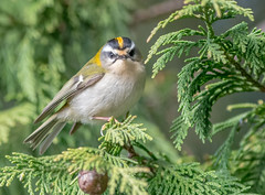 JWL9482  Firecrest.. (jefflack Wildlife&Nature) Tags: firecrest firecrests birds avian animal animals wildlife wildbirds wetlands woodlands warbler warblers countryside copse heathland hedgerows gardenbirds glades forest songbirds nature ngc npc coth5