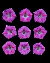 58759.01 Ipomoea (horticultural art) Tags: horticulturalart ipomoea morningglory flowers grid 9 nine