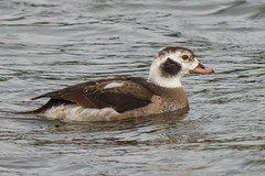 Long Tailed Duck........ (klythawk) Tags: longtailedduck clangulahyemalis male overcast nature winter wildlife grey brown orange beige black white olympus omd em1mkll 100400mm panasonic holmepierrepont rowingcourse nottingham klythawk