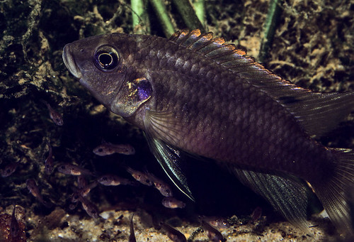Benitochromis aff. nigrodorsalis, male looking after fry