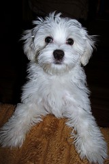 """Take me on your lap mommy!"" ;) (green_lover) Tags: dog dogs pets puppy maltese fela portrait white 7dwf"