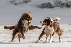 fight on the beach (FotoHolst) Tags: action wasser schlammcatchen sheperd australian canon sister schwestern strand haustier mud catchen dog spas fun 7dmark2 fotoholst outdoor hund