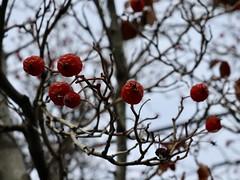 External Tree Hearts (Robert Cowlishaw (Mertonian)) Tags: robertcowlishaw macro wintersky wrinkles february red berries canonpowershotg1xmarkiii markiii g1x powershot canon lunchwalk mertonian uplooking winter hearts tree