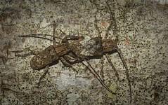 Rhytiphora nodosa (dustaway) Tags: arthropoda insecta coleoptera cerambycidae lamiinae rhytiphoranodosa longicornbeetle australianbeetles australianinsects clagiraba coomeravalley sequeensland queensland australia