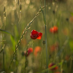 Summer memories (Stefano Rugolo) Tags: stefanorugolo pentax k5 pentaxk5 smcpentaxm50mmf17 ricohimaging summer summermemories memories squarefomat bokeh depthoffield papaver poppy flower wildflower field countryside lazio italy poppies r grass plant