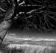 A strange mood... (Robyn Hooz) Tags: albero tree garda lake lago rami branches sponde cielo blue monochrome italy uwa