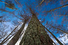 Larch (namhdyk) Tags: larch tree trees woods forest canon canonpowershotg7x