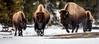 _AJ21216 copy (alj70) Tags: bison uppergeyserbasin yellowstonenationalpark winter