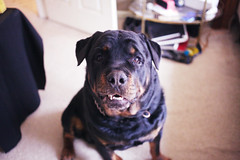 maximum doge (○ Hanna Lee ○) Tags: dogs doge doges rottie rottweiler pets petphotography petphotographer petphotographers animal animals cuteanimals dogsoftumblr petsoftumblr doglover doglovers photography photographer photographers