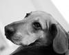 Beans (andymudrak) Tags: 365 photography dog beagle bassethound bw portrait beans