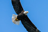 Bald Eagle (mjeedelbr) Tags: bald eagle
