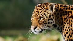Jaguar (Aardwolf6886) Tags: chincha jaguar pantheraonca dartmoor devon dzp dartmoorzoo sparkwell tamronsp150600mmf563diusd sonyilca99m2 169desktopwallpaper bigcat cat zoo animal ultrahighdefinition