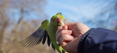 Rose-Ringed Parakeet (cuppyuppycake) Tags: roseringed parakeet bird london green nature spring wildlife outdoors