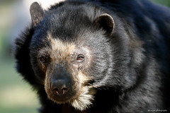Andean bear (dpsager) Tags: andeanbear arizona bear dpsagerphotography phoenix phoenixzoo zoo