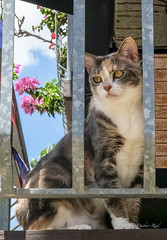 """Nala"" (idunbarreid) Tags: cat balcony bougainvillea"