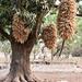 The Fulani at Boundiali - corn drying
