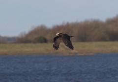 Western Marsh Harrier (Circus aeruginosus) flying over the lagoon (Paul Cottis) Tags: paul cottis eurasian harrier raptor bird welney norfolk western marsh 16 jan 2018