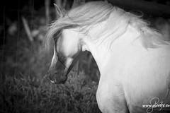 VITUOSO (CAST) - ÉTALON PSL (HARAS DE LA GESSE) Tags: etalon psl lusitano lusitanien cheval poulain pouliche elevage eleveur dressage haras portraits lusitanos stallion vertuoso