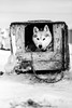 Arctic sled dog (Kristaaaaa) Tags: animals arctic dog dogs fur huskey portrait sleddog snow tuktoyaktuk winter canada black white northwestterritories north 56mm fuji fujifilm fujixt2 fujilove fujinon xf blackwhite blacknwhite bnw bw blackandwhite