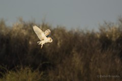 Barn Owl (Tyto alba) (PeterBrooksPhotography) Tags: barnowl bird d5200 hunting nikon peterbrooksphotography season sigma120400 spring sussex tytoalba uk westsussex wildlife owl raptor wild ©peterbrooks