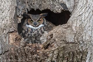 Great Horned Owl ©