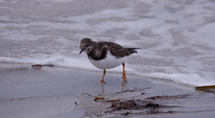 Beach dude (evakongshavn) Tags: bird birds beach fauna arenariainterpres ruddyturnstone steinvender