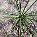 Twist-leaf yucca
