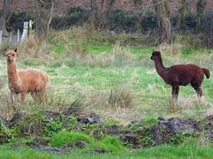 Alpaca  (Vicugna pacos)  8-3-17 (Brian Carruthers-Dublin-Eire) Tags: alpaca animalia chordata mammalia artiodactyla camelidae vicugna vpacos animal nature wildlife wicklow ireland irish eíre vicugnapacos