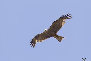 Milhafre preto - Black kite (Milvus migrans)