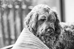 Rainy day Poopy (jayneboo) Tags: home leica cl summarit 75mm 25 bw mono family dog cockerpoo winter grey inside