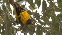 DSC_1597-Edit.jpg (naser7363) Tags: blackheadedoriole birds