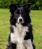 Sterre 11 (lizzaminelli) Tags: bordercollie dog animal pet dogs nikond3200 nikon outdoor grass