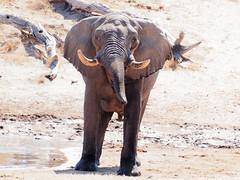 20170724-123656-00447B-co (hugoholunder) Tags: afrika flickr okovangodelta botswana elefant wasser