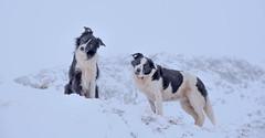 """Do you think he's doing it on purpose?? ..."" (JJFET) Tags: border collie dog sheepdog sheep mountain head tilt littledoglaughedstories"