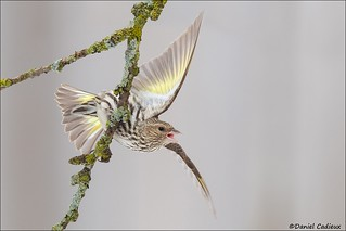 Pine Siskin Aggression