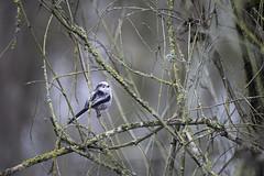 Mésange à longue queue (Fabien Husslein) Tags: mesange longue queue long tailed tit oiseau bird nature branche